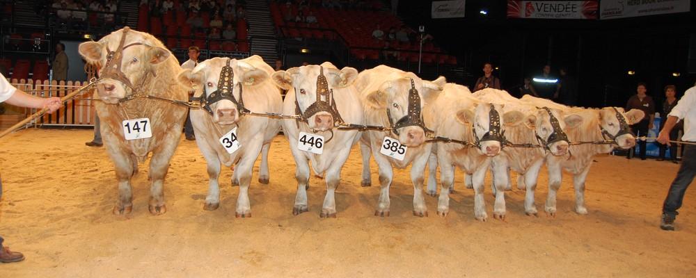Prix d'ensemble Cournon 2010 avec Don Juan  et quatre filles de taureaux de Charolais Evaluation